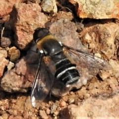 Villa sp. (genus) (Unidentified Villa bee fly) at Lower Cotter Catchment - 2 Mar 2020 by JohnBundock