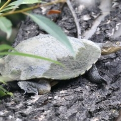 Chelodina longicollis (Eastern Long-neck Turtle) at Jerrabomberra Wetlands - 24 Feb 2020 by jbromilow50