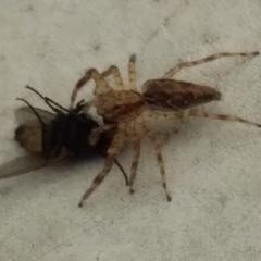 Helpis minitabunda (Threatening jumping spider) at Bermagui, NSW - 1 Mar 2020 by narelle