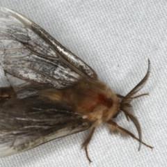 Clania ignobilis at Ainslie, ACT - 29 Jan 2020