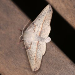 Antictenia punctunculus (A geometer moth) at O'Connor, ACT - 29 Feb 2020 by ibaird