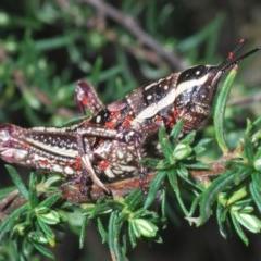 Monistria concinna (Southern Pyrgomorph, Southern Gaudy Grasshopper) at Kosciuszko National Park - 28 Feb 2020 by Harrisi