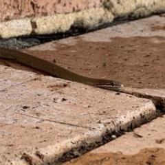 Drysdalia coronoides (White-lipped snake) at Penrose, NSW - 31 Dec 2019 by Emma.D