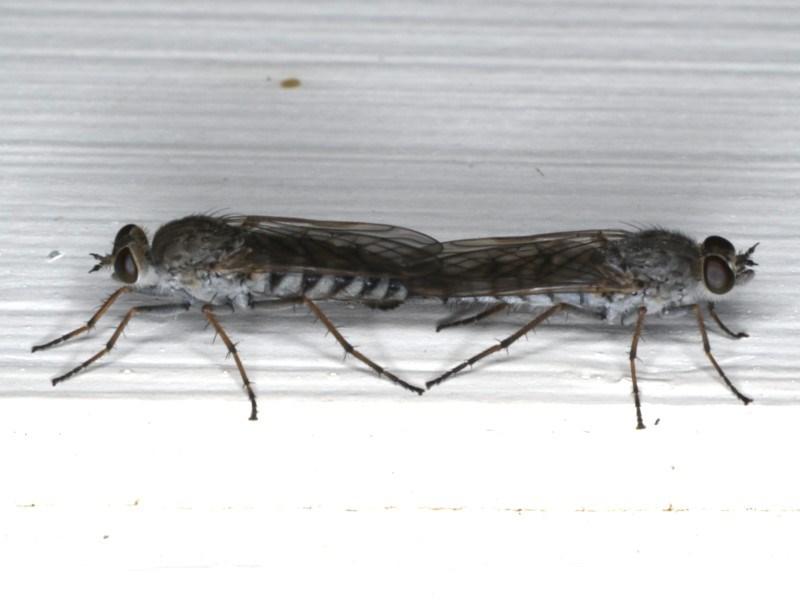 Anabarhynchus sp. (genus) at Ainslie, ACT - 24 Feb 2020