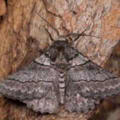 Hypobapta (genus) (A Geometer moth) at Molonglo Valley, ACT - 11 Nov 2018 by kasiaaus