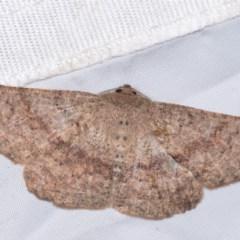 Idiodes apicata (Bracken Moth) at Molonglo Valley, ACT - 11 Nov 2018 by kasiaaus