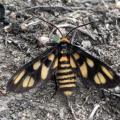 Amata (genus) (Handmaiden) at Piney Ridge - 3 Mar 2020 by Lisa.Jok