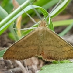 Scopula rubraria (Reddish Wave) at City Renewal Authority Area - 3 Mar 2020 by tpreston