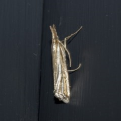 Hednota species near grammellus (Pyralid or snout moth) at Higgins, ACT - 2 Mar 2020 by AlisonMilton
