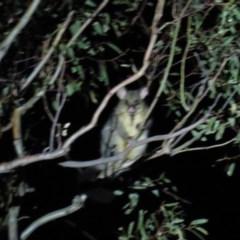Trichosurus vulpecula (Common Brushtail Possum) at Stirling Park - 29 Feb 2020 by AndrewZelnik