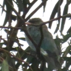 Eurystomus orientalis (Dollarbird) at Curtin, ACT - 15 Feb 2020 by tom.tomward@gmail.com