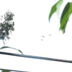 Zanda funereus (Yellow-tailed Black-Cockatoo) at Curtin, ACT - 17 Feb 2020 by tom.tomward@gmail.com