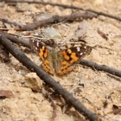 Vanessa kershawi (Australian Painted Lady) at Gigerline Nature Reserve - 2 Mar 2020 by RodDeb