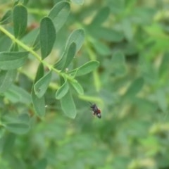 Chalcididae sp. (family) (Unidentified chalcid wasp) at Gigerline Nature Reserve - 2 Mar 2020 by RodDeb