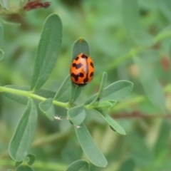 Coccinella transversalis (Transverse Ladybird) at Gigerline Nature Reserve - 2 Mar 2020 by RodDeb