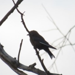 Artamus cyanopterus (Dusky Woodswallow) at Curtin, ACT - 15 Jan 2020 by tom.tomward@gmail.com