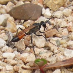 Podalonia tydei (Caterpillar-hunter wasp) at Gigerline Nature Reserve - 2 Mar 2020 by RodDeb