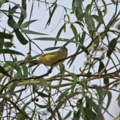Gerygone olivacea (White-throated Gerygone) at Gigerline Nature Reserve - 1 Mar 2020 by RodDeb