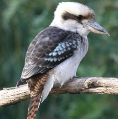 Dacelo novaeguineae (Laughing Kookaburra) at Ainslie, ACT - 23 Feb 2020 by jbromilow50