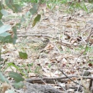 Pyrrholaemus sagittatus at Red Hill Nature Reserve - 3 Mar 2020