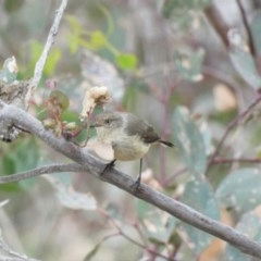 Acanthiza reguloides (Buff-rumped Thornbill) at Red Hill Nature Reserve - 3 Mar 2020 by Ct1000