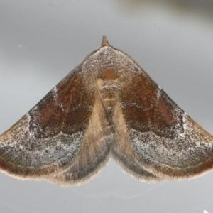 Mataeomera coccophaga at Ainslie, ACT - 23 Feb 2020
