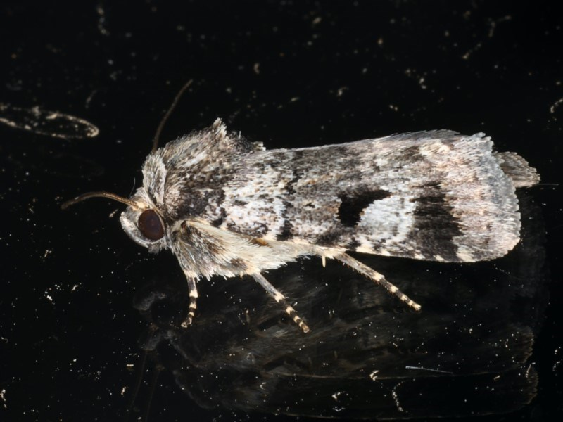 Thoracolopha verecunda at Ainslie, ACT - 23 Feb 2020
