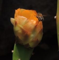 Apis mellifera (European honey bee) at Chakola, NSW - 26 Dec 2019 by michaelb