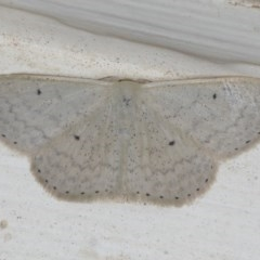 Scopula optivata (Varied Wave) at Ainslie, ACT - 23 Feb 2020 by jbromilow50