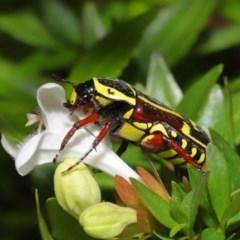 Eupoecila australasiae (Fiddler Beetle) at Evatt, ACT - 1 Mar 2020 by TimL