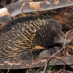 Tachyglossus aculeatus (Short-beaked Echidna) at ANBG - 29 Feb 2020 by Tim L