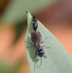 Tiphiidae sp. (family) at ANBG - 29 Feb 2020