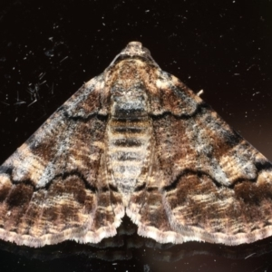 Cryphaea xylina at Ainslie, ACT - 23 Feb 2020