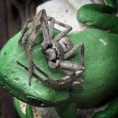 Isopeda sp. (genus) (Huntsman Spider) at Banks, ACT - 4 Mar 2020 by UserfaKgHkxs