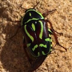 Eupoecila australasiae (Fiddler Beetle) at Wingecarribee Local Government Area - 12 Feb 2016 by Emma.D