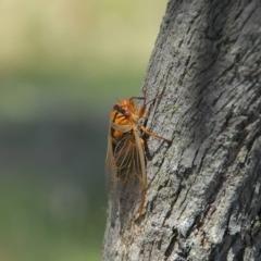Unidentified Cicada (Hemiptera, Cicadoidea) (TBC) at Wingecarribee Local Government Area - 19 Oct 2013 by Emma.D