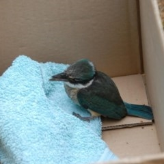 Todiramphus sanctus (Sacred Kingfisher) at Penrose - 17 Feb 2014 by Emma.D