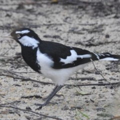 Grallina cyanoleuca (Magpie-lark) at Wingecarribee Local Government Area - 4 Mar 2020 by GlossyGal