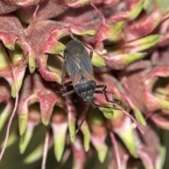 Oncopeltus (Oncopeltus) sordidus (Milk vine bug) at ANBG - 27 Sep 2019 by AlisonMilton