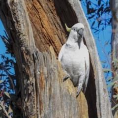 Cacatua galerita (Sulphur-crested Cockatoo) at Gossan Hill - 30 Sep 2019 by AlisonMilton