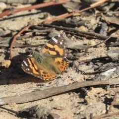 Vanessa kershawi (Australian Painted Lady) at Bruce, ACT - 30 Sep 2019 by AlisonMilton