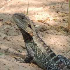 Intellagama lesueurii howittii (Gippsland Water Dragon) at Chakola, NSW - 26 Dec 2019 by michaelb