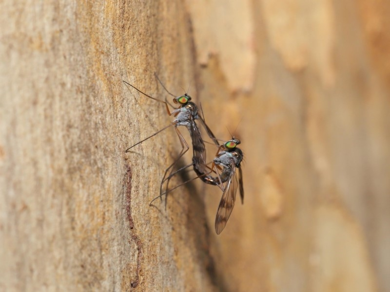 Heteropsilopus sp. (genus) at ANBG - 3 Mar 2020