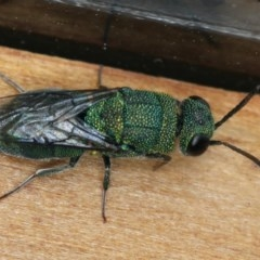 Chrysididae sp. (family) (Unidentified cuckoo wasp) at Ainslie, ACT - 2 Mar 2020 by jbromilow50