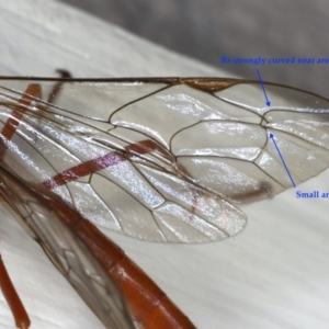 Netelia sp. (genus) at Ainslie, ACT - 2 Mar 2020