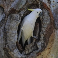 Cacatua galerita (Sulphur-crested Cockatoo) at Higgins, ACT - 2 Oct 2019 by Alison Milton