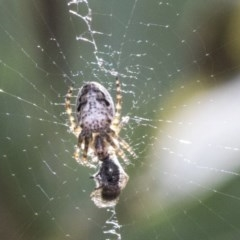 Plebs eburnus (Eastern bush orb-weaver) at Higgins, ACT - 2 Oct 2019 by AlisonMilton