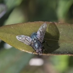 Calliphoridae (family) (Unidentified blowfly) at Higgins, ACT - 1 Oct 2019 by AlisonMilton