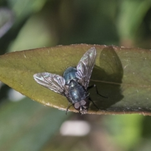 Calliphoridae (family) at Higgins, ACT - 2 Oct 2019
