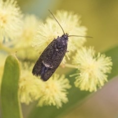 Leistomorpha brontoscopa (A concealer moth) at Higgins, ACT - 2 Oct 2019 by AlisonMilton